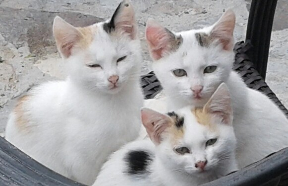 croatia-kittens